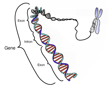 Gene, exon, intron, sequencing