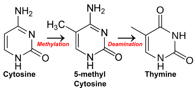 cytosine methylation