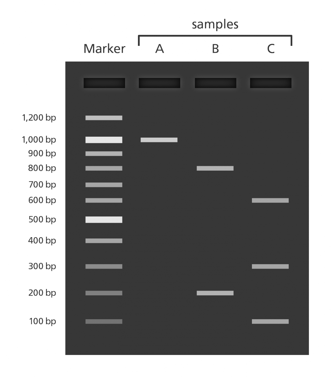 an experiment to determine the movement of the dna proteins in the gel electrophoresis 2018-7-19 have you ever wondered how scientists work with tiny molecules that they can't see here's your chance to try it yourself sort and measure dna strands by running your own gel electrophoresis experiment.