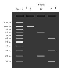 gel_electrophoresis_dna_bands_yourgenome